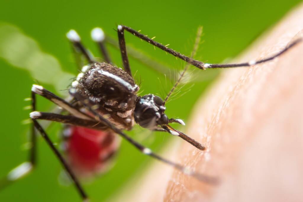 Super makro niebezpieczne Zica wirus aedes aegypti komara na ludzkiej skórze, Denga, Chikungunya, gorączka Mayaro